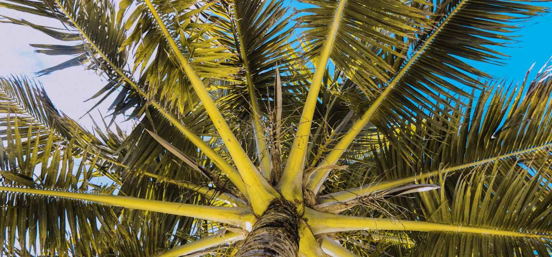 Palme, Palmenmotiv, Palmen T-Shirt, Belize, Karibik
