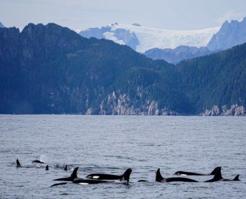 Orcas in Alaska Erleben